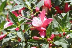 桃红色倒挂金钟在庭院里 库存图片
