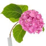 桃红色八仙花属枝杈 库存照片