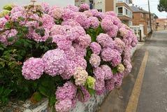 桃红色八仙花属的灌木反对城市街道的 库存图片