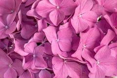 桃红色八仙花属背景 免版税库存照片