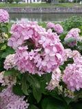 桃红色八仙花属花在学校 免版税库存照片