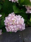 桃红色八仙花属花在学校 图库摄影