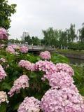 桃红色八仙花属花在学校 免版税库存图片