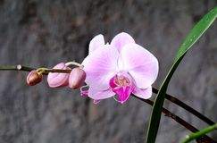 桃红色兰科兰花植物在庭院里 库存照片
