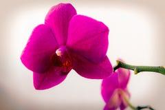 桃红色兰花兰花植物花在一个轻的背景特写镜头的 免版税库存照片