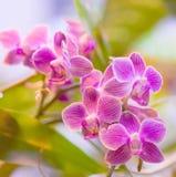 桃红色兰花兰花植物 免版税库存照片