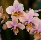 桃红色兰花兰花植物 免版税图库摄影