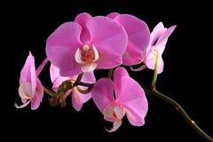 桃红色兰花兰花植物 免版税库存图片