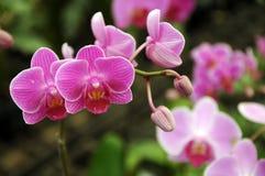 桃红色兰花在雀鳝小室,兰花植物 库存图片