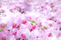 桃红色兰花庭院背景 免版税库存图片