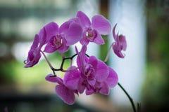 桃红色兰花植物兰花花在 库存照片