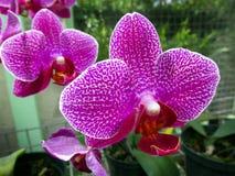 桃红色兰花植物或飞蛾石斛兰属兰花花在冬天或春日热带庭院里 库存图片