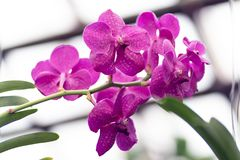 桃红色兰花植物,桃红色兰花关闭在软的焦点 库存图片