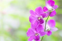桃红色兰花植物 免版税库存图片