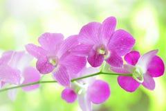 桃红色兰花植物 免版税库存照片