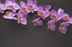 桃红色兰花浪漫分支在灰色背景的 图库摄影