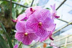 桃红色兰花美丽的花 图库摄影