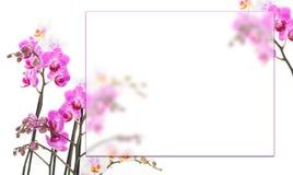 桃红色兰花背景 库存照片