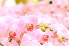 桃红色兰花背景 免版税库存照片