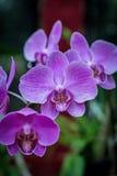 桃红色兰花花 Orhidea phalenopsis 免版税库存图片