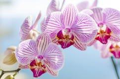 桃红色兰花,兰花植物 免版税库存照片