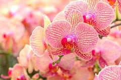 桃红色兰花 库存图片