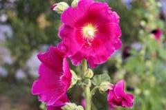 桃红色冬葵美丽的花 库存照片