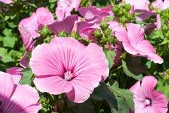 桃红色冬葵花在庭院里 Lavatera trimestris开花 免版税库存图片