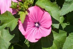 桃红色冬葵花在庭院里 Lavatera trimestris开花 图库摄影