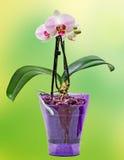 桃红色分支兰花开花与绿色叶子,在一个淡紫色透明花瓶 兰科,叫作蝴蝶兰的兰花植物 免版税图库摄影