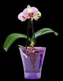 桃红色分支兰花开花与绿色叶子,在一个淡紫色透明花瓶 兰科,叫作蝴蝶兰的兰花植物 库存照片