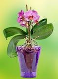 桃红色分支兰花开花与绿色叶子,在一个淡紫色透明花瓶 兰科,叫作蝴蝶兰的兰花植物 免版税库存图片