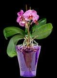 桃红色分支兰花开花与绿色叶子,在一个淡紫色透明花瓶 兰科,叫作蝴蝶兰的兰花植物 库存图片