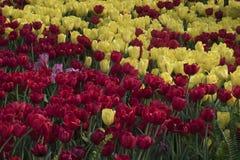 桃红色分配为花坛的区域,黄色和红色郁金香 库存照片