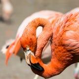 桃红色加勒比火鸟(Phoenicopterus ruber ruber)在水去 桃红色火鸟在沼泽去 免版税库存照片