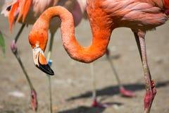桃红色加勒比火鸟(Phoenicopterus ruber ruber)在水去 桃红色火鸟在沼泽去 库存图片