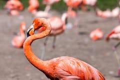 桃红色加勒比火鸟(Phoenicopterus ruber ruber)在水去 桃红色火鸟在沼泽去 库存照片
