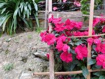 桃红色友好的花 Galipan -委内瑞拉 免版税库存图片