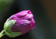 桃红色反对蓝天的玫瑰芽 库存图片