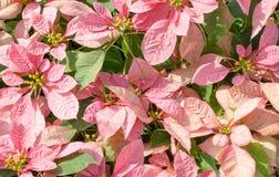 桃红色叶子和绿色叶子 免版税库存照片