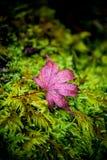 桃红色叶子有自然背景 免版税库存图片