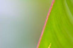 桃红色叶子边际 库存照片