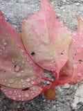 桃红色叶子 库存图片