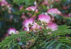 桃红色含羞草树 免版税图库摄影
