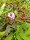 桃红色含羞草花 库存照片