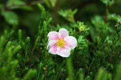 桃红色和俏丽的花 库存图片