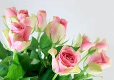 桃红色和奶油色玫瑰 图库摄影