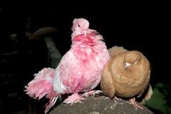 桃红色和布朗鸡坐一根具体杆 免版税图库摄影