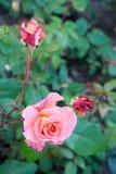 桃红色和桃子上升了 库存照片