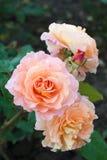 桃红色和桃子上升了 免版税库存图片